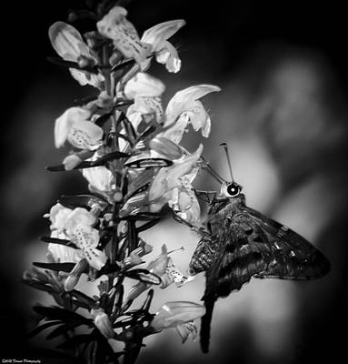 Photograph - Butterfly On Flower Black And White by Debra Forand
