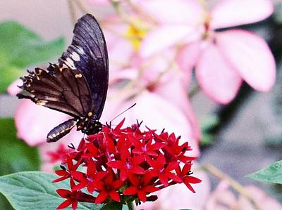 Photograph - Black Butterfly On Red Flower by Sandy Taylor
