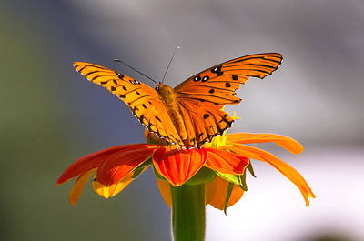 Photograph - Butterfly On Flower by Willard Killough III