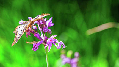 Photograph - Butterfly On Flower With Green Background by Susan Schmitz