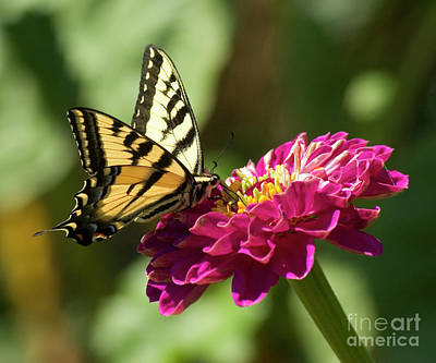 Tiger Swallowtail Photograph - Butterfly On Fuschia Flower by Jim and Emily Bush