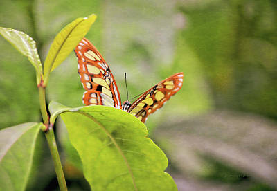 Photograph - Butterfly On Green Leaf by Maria Angelica Maira