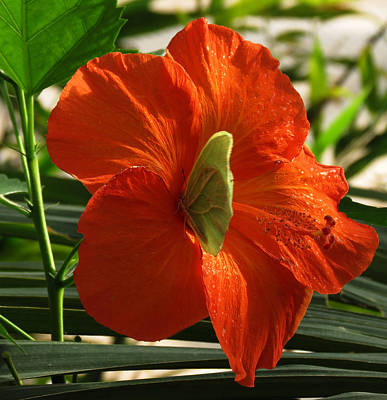 Photograph - Butterfly On Hibiscus by Laurel Powell