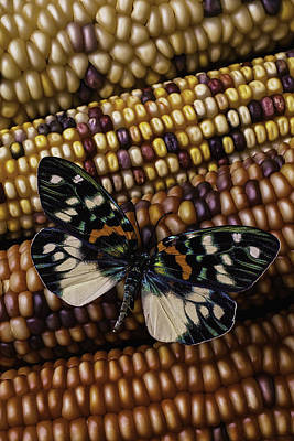 Thanksgiving Art Photograph - Butterfly On Indian Corn by Garry Gay