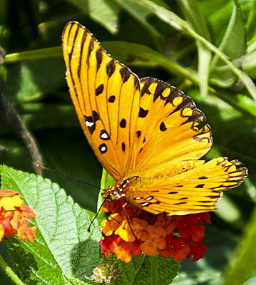 Art Print featuring the photograph Butterfly On Lantana by Bill Barber