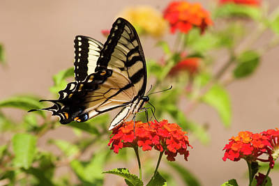Photograph - Butterfly On Lantana by Jill Lang