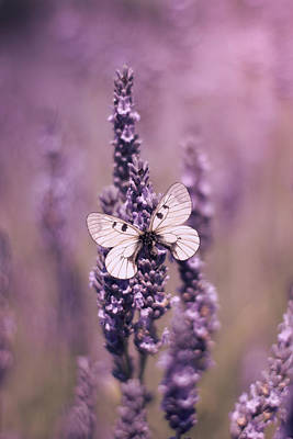 Photograph - Butterfly On Lavender by Ethiriel  Photography