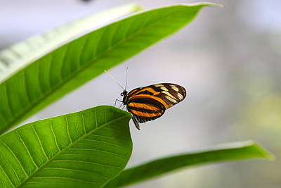 Photograph - Butterfly On Leaf by Denise Mazzocco