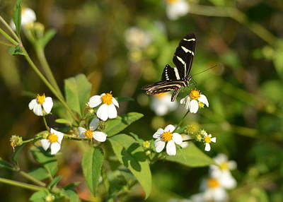 Photograph - Zebra Longwing Butterfly On Milkweed by Carla Parris