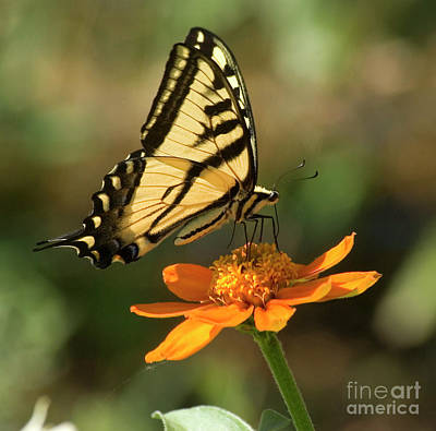 Photograph - Butterfly On Orange Flower by Jim And Emily Bush