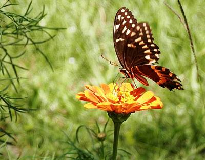 Photograph - Butterfly On Orange Zinnia by Belinda Lee