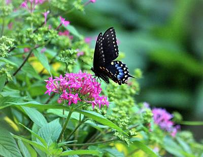 Photograph - Butterfly On Pentas Flower by Cynthia Guinn