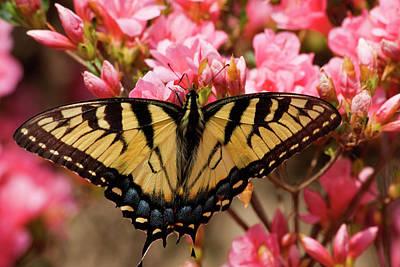 Photograph - Butterfly On Pink Azaleas by Jill Lang
