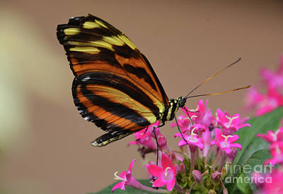 Photograph - Butterfly On Pink by Cindy Manero