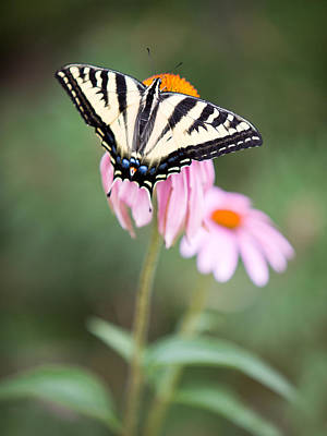 Photograph - Butterfly On Pink Cone Flower by Rebecca Cozart