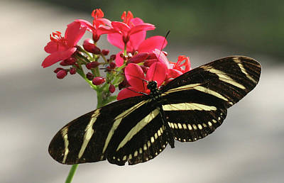 Photograph - Zebra Butterfly On Pink Flower by Amelia Painter