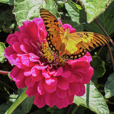 Photograph - Butterfly On Pink Flower by Mark Barclay