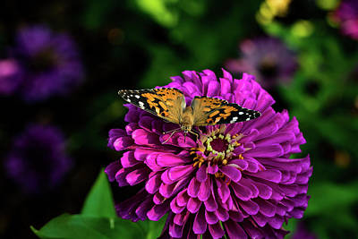 Photograph - Butterfly On Purple Flower by Jay Stockhaus