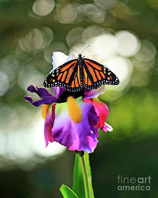 Photograph - Butterfly On Purple Iris Photo by Luana K Perez