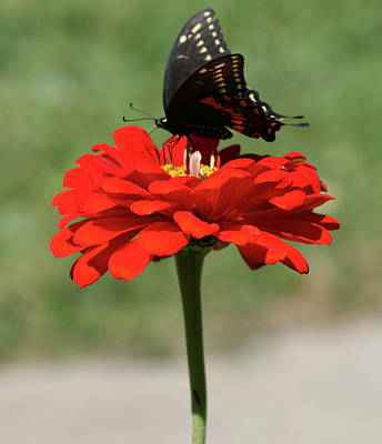 Photograph - Butterfly On Red Zinnia by Peg Toliver
