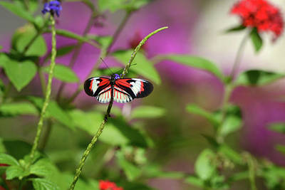 Photograph - Butterfly On Stem by Vanessa Valdes