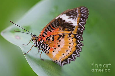Photograph - Butterfly On The Edge Of Leaf by John Wadleigh