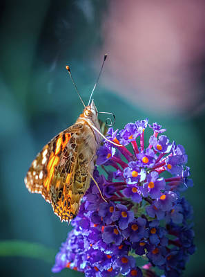 Photograph - Butterfly On The Flower 2 by Lilia D