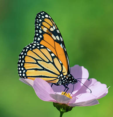 Photograph - Butterfly On The Flower 3 by Lilia D