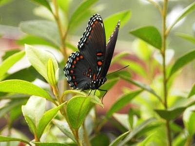 Photograph - Butterfly On The Green by Belinda Lee
