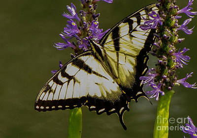 Photograph - Beautiful Butterfy by Marilyn Carlyle Greiner