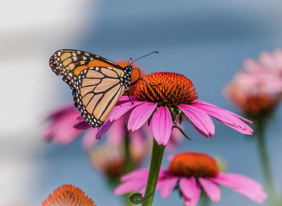 Photograph - Butterfly On The Pink Flower by Lilia D