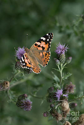 Photograph - Butterfly On Thistle by Giovanni Malfitano
