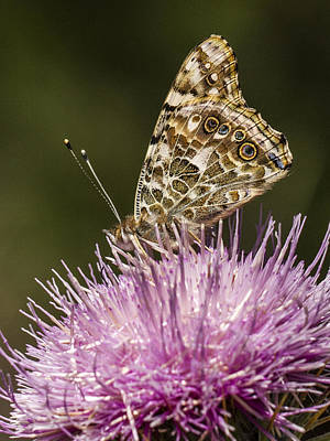 Madera Canyon Photograph - Butterfly On Thistle by Jean Noren