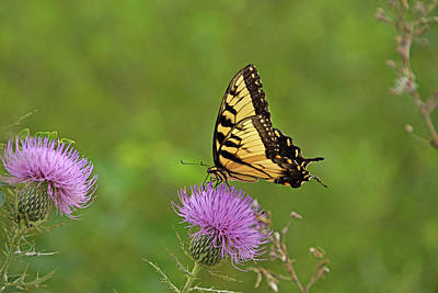Print featuring the photograph Butterfly On Thistle by Sandy Keeton