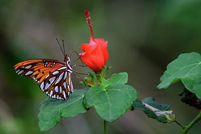 Photograph - Butterfly On Turks Cap by Debra Martz