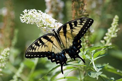 Swallowtail Photograph - Butterfly On White Bush by Jill Lang