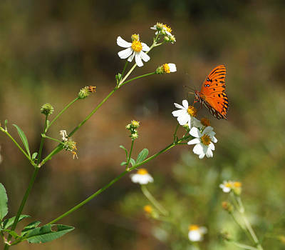 Photograph - Butterfly On Widflower by Sandy Keeton
