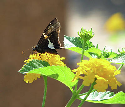 Photograph - Butterfly On Yellow Flowers by Marie Jamieson