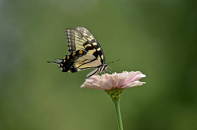 Art Print featuring the photograph Butterfly On Zinnia by Wanda Krack
