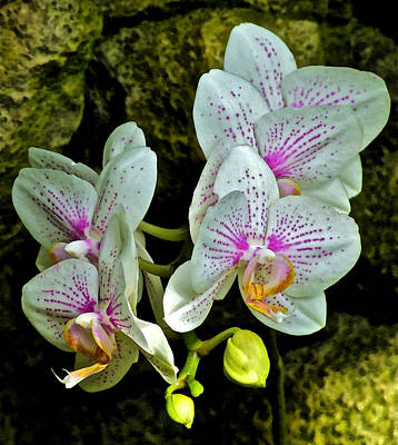 Photograph - Butterfly Orchids  by Janis Nussbaum Senungetuk