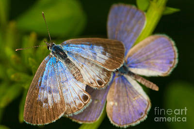 Photograph - Butterfly Pair by Diane Macdonald