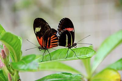 Butterfly Pair Art Print