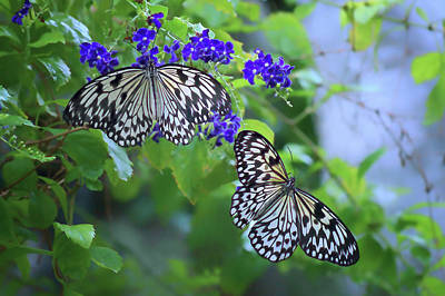 Idea Leuconoe Photograph - Butterfly Pair - Rice Paper by Nikolyn McDonald