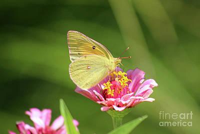 Photograph - Butterfly Pastels by Karen Adams