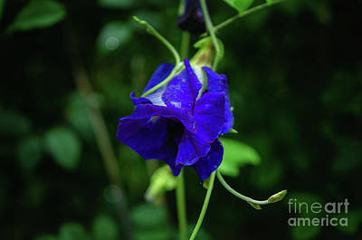Photograph - Butterfly Pea by Michelle Meenawong