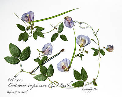 Photograph - Butterfly Pea by Roberta Jean Smith