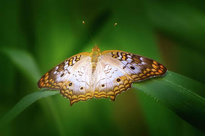 Photograph - Butterfly Peacock by Mark Andrew Thomas