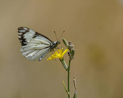 Photograph - Butterfly Photo #36 by Ben Upham III