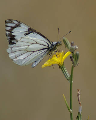 Photograph - Butterfly Photo #37 by Ben Upham III