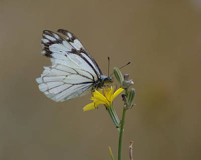 Photograph - Butterfly Photo #39 by Ben Upham III